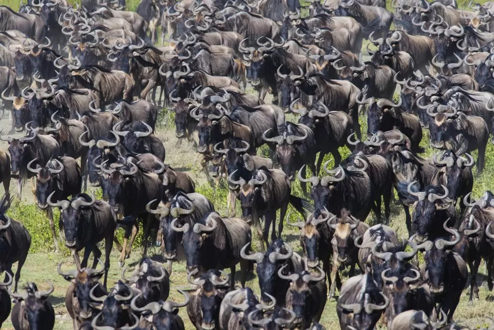 A large herd of wildebeest on the move in the calving season during the great migration
