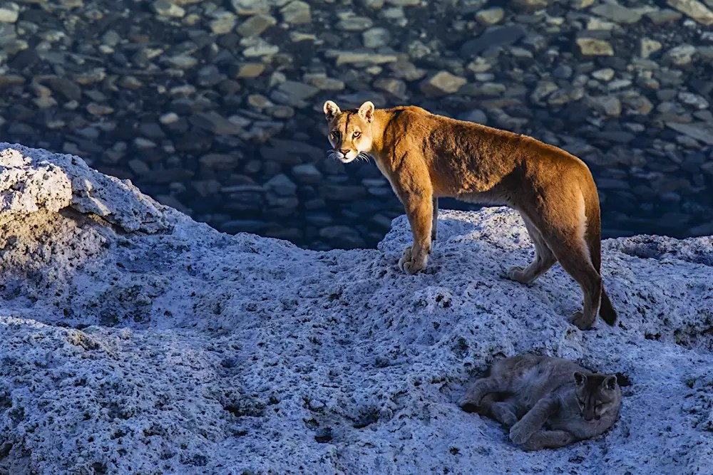 A female puma standing in the last sunlight of the day along a lake on granite rock