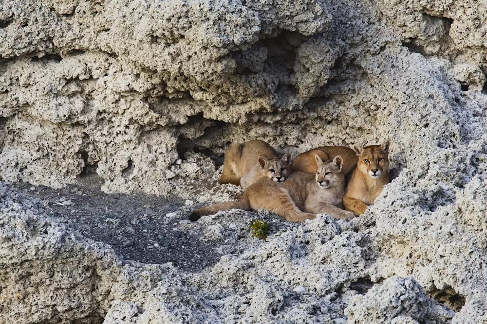 A female puma and her cubs warming up on the warm lakeside granite rock