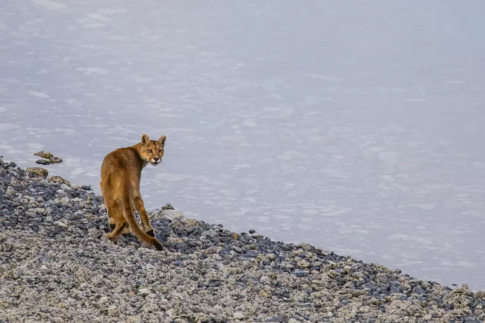 A puma walking along a rocky lakeside beach