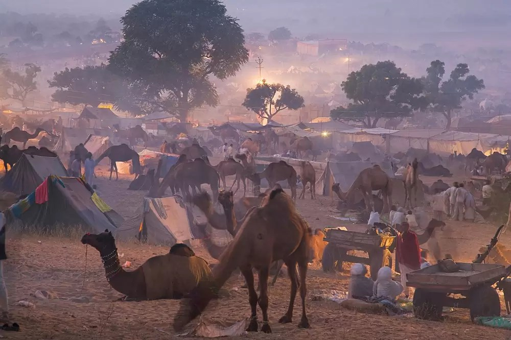 Scene at selling grounds of Pushkar camel fair