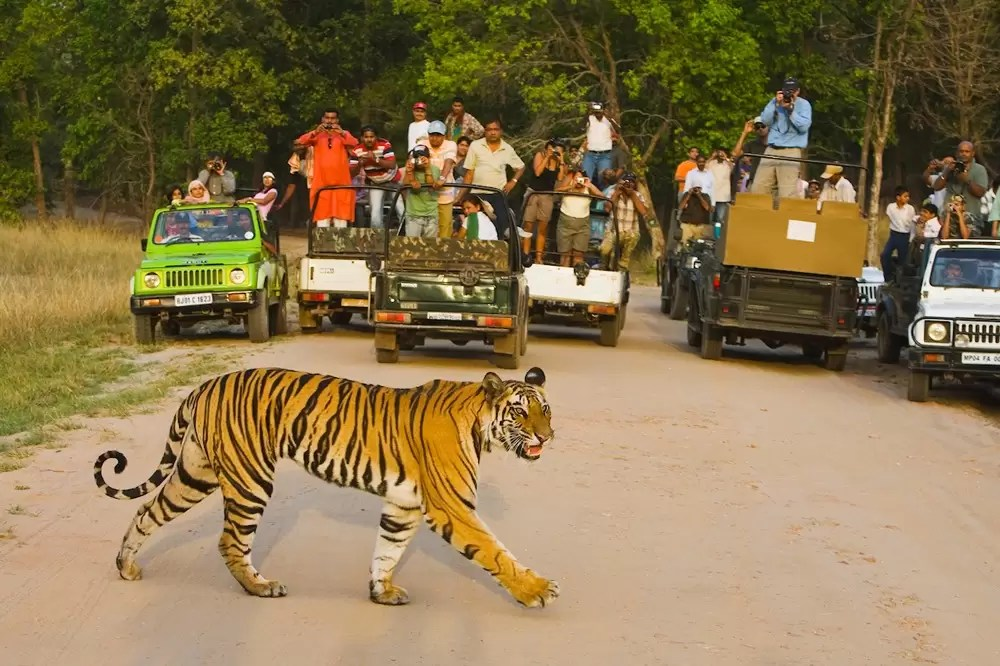 Tourists in game drive vehicles watching Bengal tiger