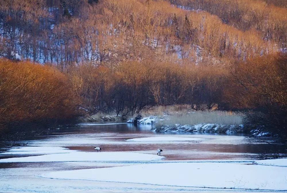 Japanese red-crowned cranes feeding from a frozen river