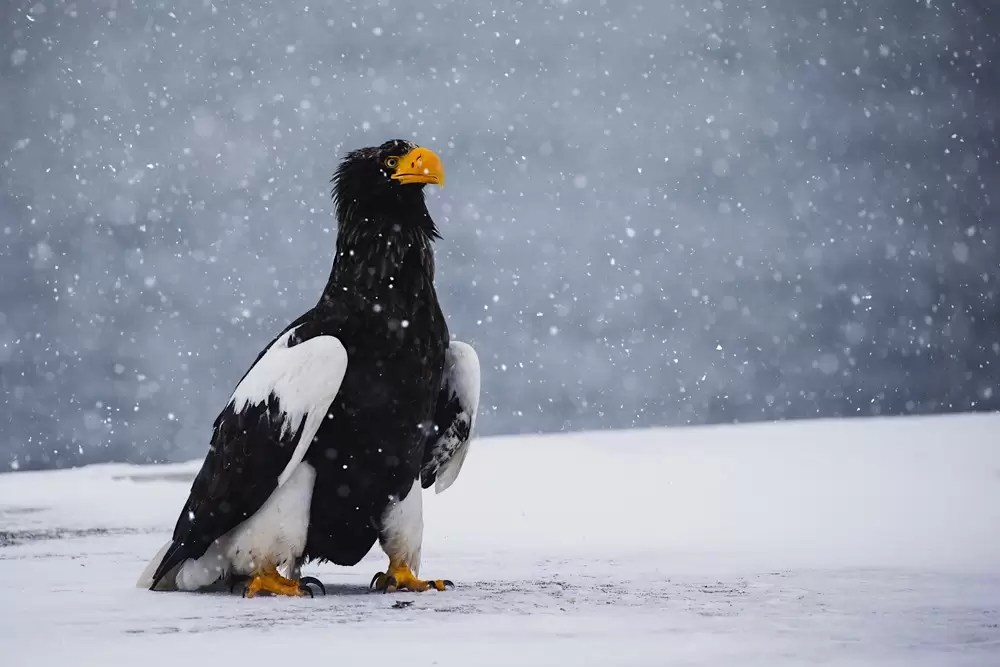 A Japanese Stellar sea eagle sitting in a snow storm