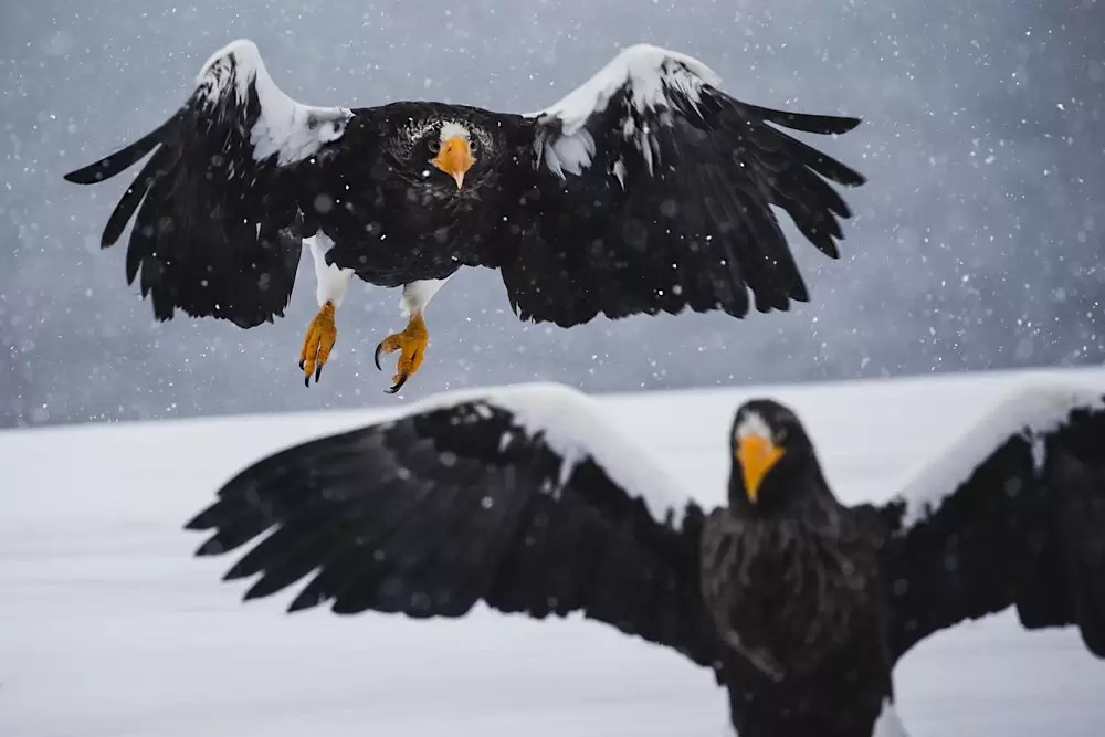 Two Stellar sea eagles during a snow storm