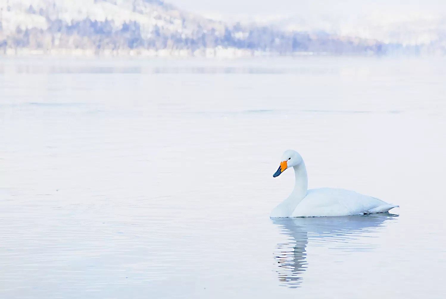 Japanese Whooper swans in winter
