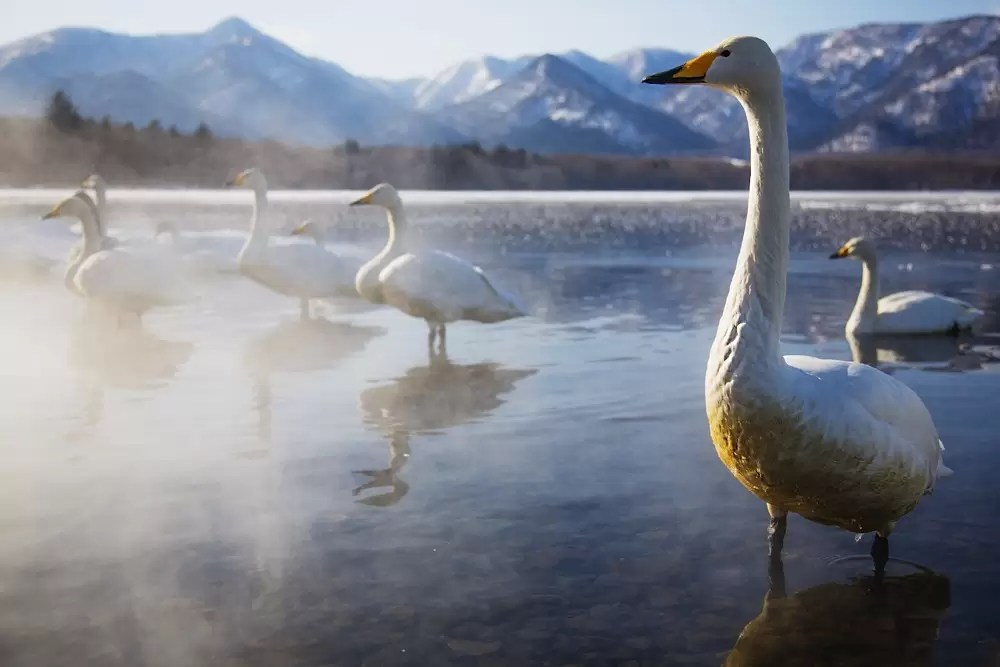 A winter day on Lake Kussharo with Whooper swans