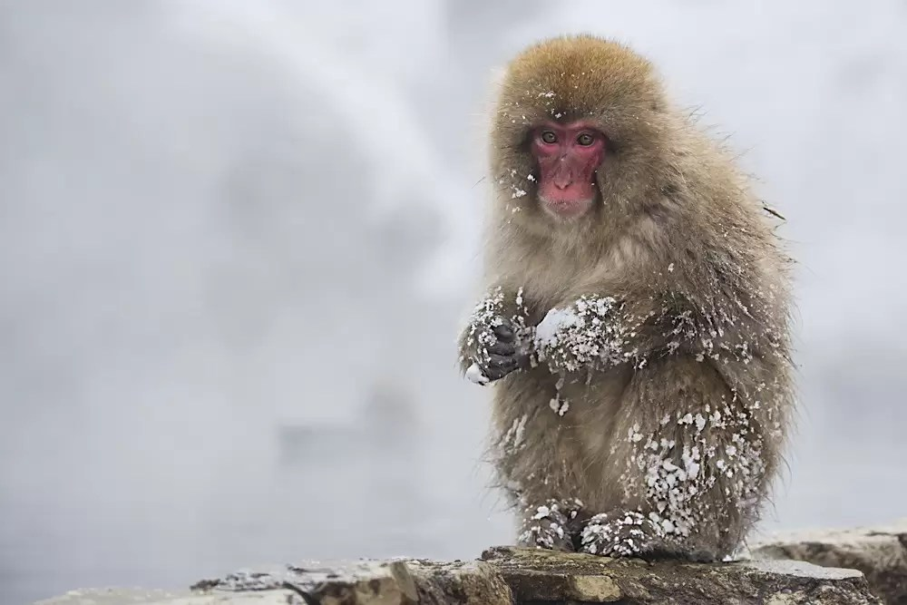 A young Japanese snow monkey covered in snow