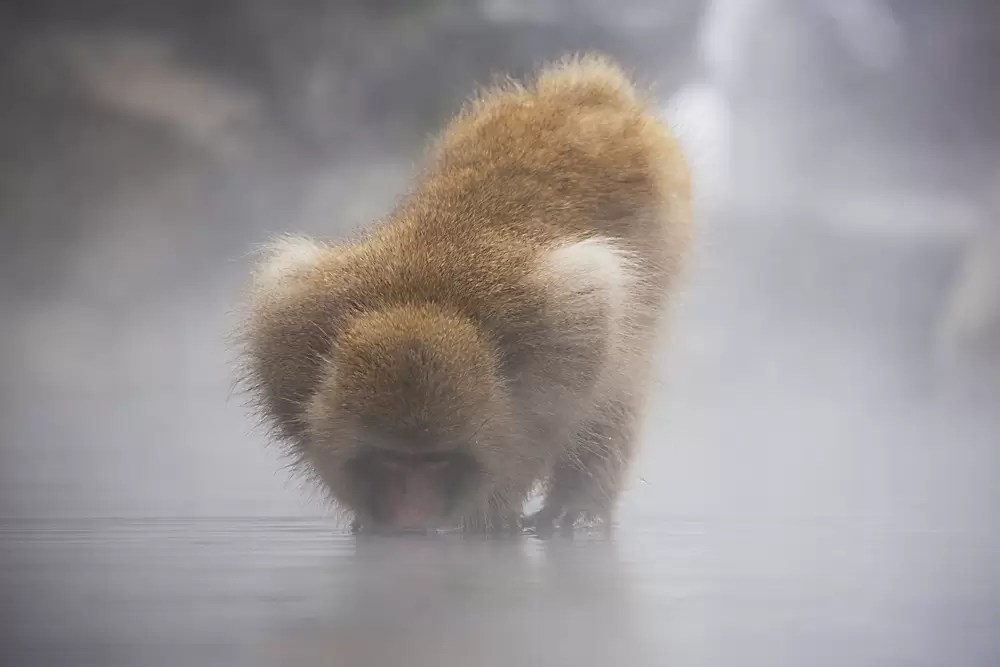 A snow monkey drinking from a steaming hotspring in winter.