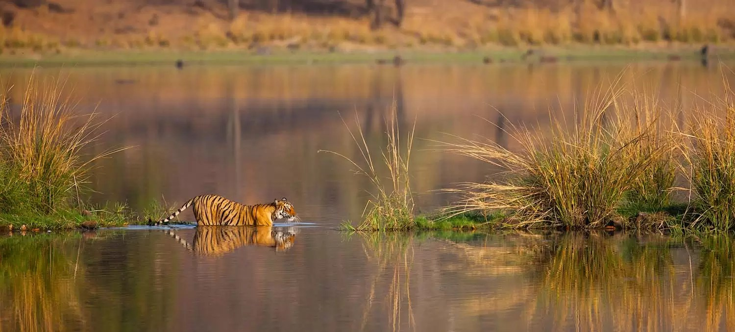 Bengal tiger in lake