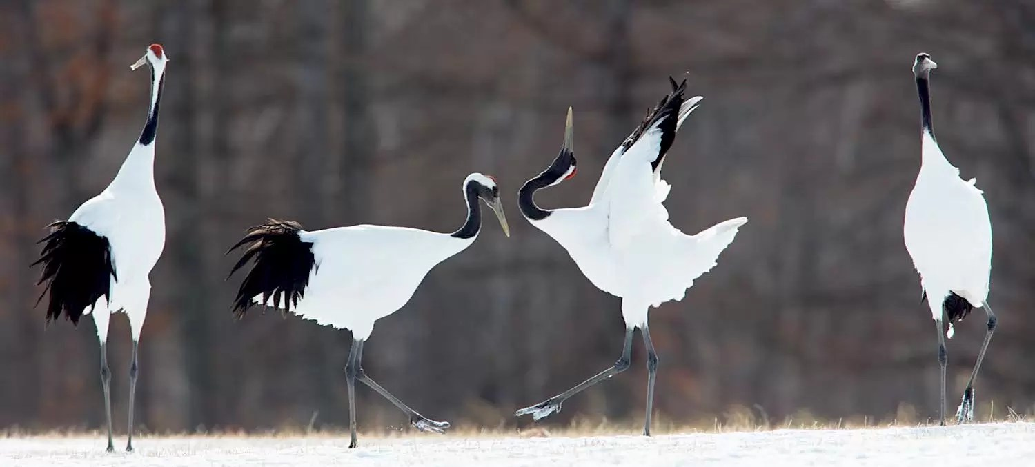 Red-crowned cranes