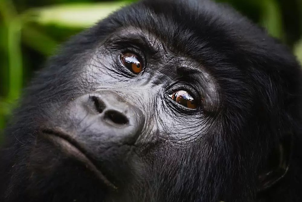 Portrait of face of female mountain gorilla