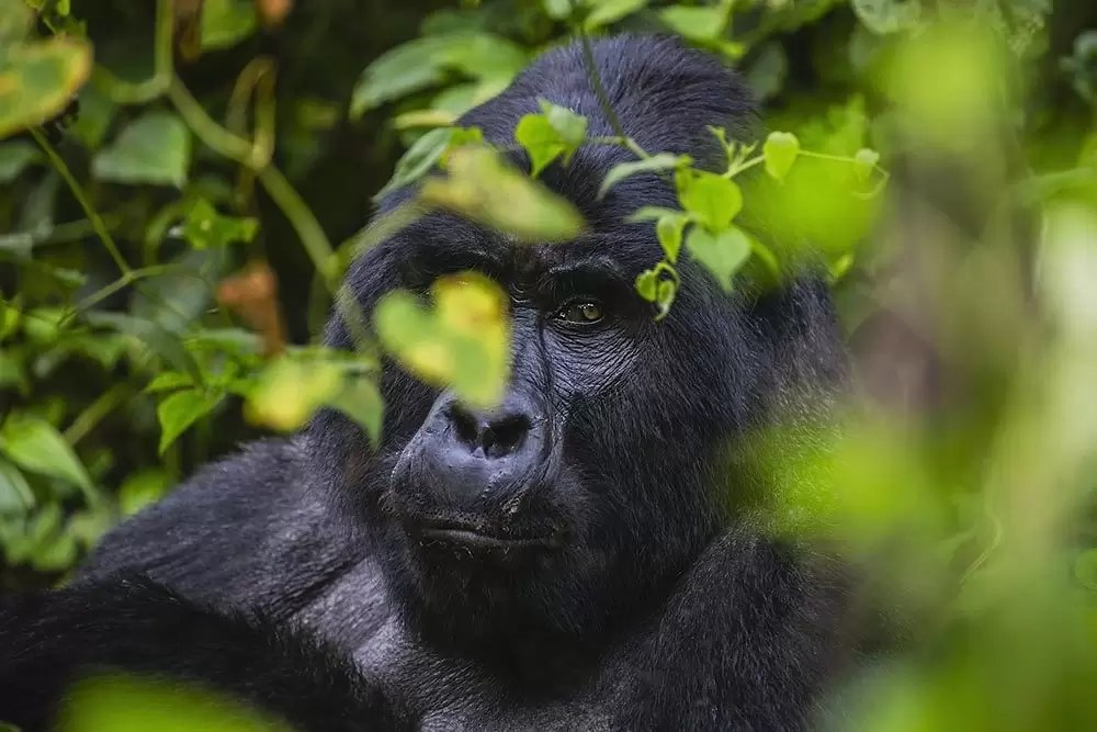 A wild silverback mountain gorilla sitting quietly on the forest floor