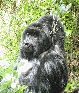Silverback Gorilla sitting down in bush