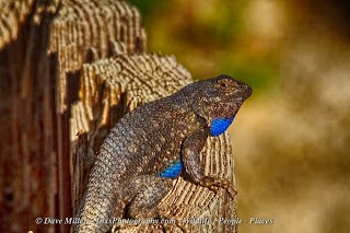 male western fence lizard on tree stump