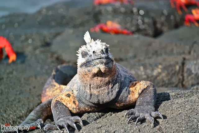 Marine Iguana taking in the sun