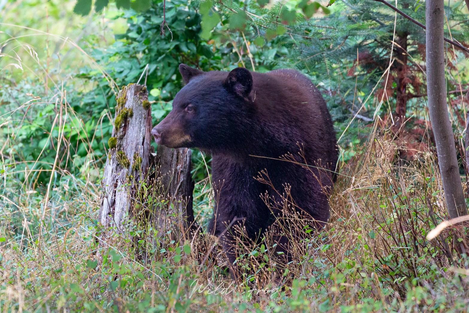 Black Bear in trees Montana