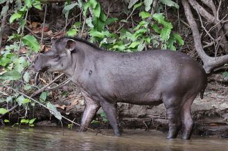 Lowland tapir (Sharp Photography)