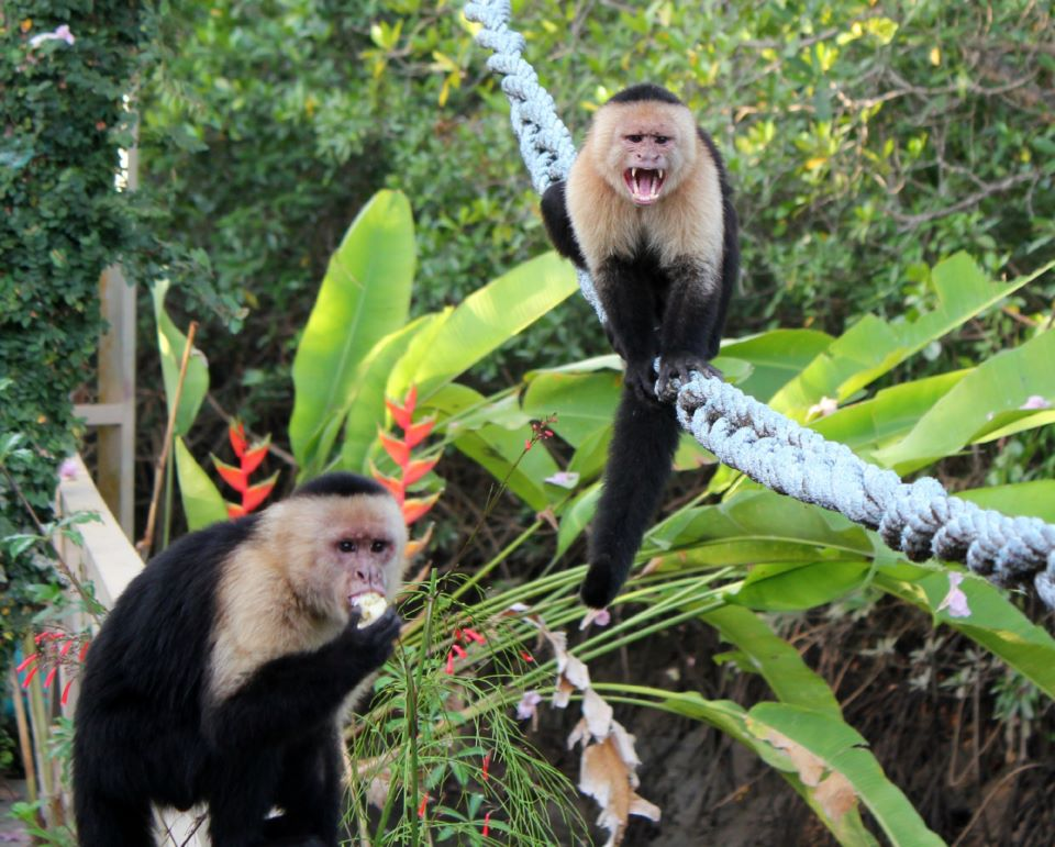 Capuchin monkeys (Photographed by me in Costa Rica - harder to catch here!)