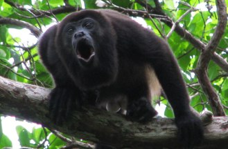 Howler Monkey (sportstalkflorida.com)