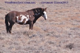 One of the last of the Sheldon Mustangs to roam free