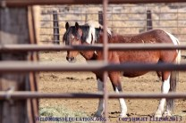 Gelding awaiting shipment. He has the arrow high on his hip that shows he had a vasectomy (and then gelded in 2013) at Sheldon