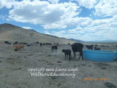 Water haul for cattle during drought in overgrazed area of Nevada, in drought years there may be a dozen water hauls for horses statewide compared to ten times as many for domestic livestock