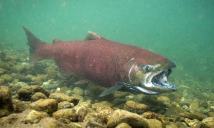 ODFW Recreation Report: Fall bear season is open, chinook and coho fishing, wildfire closures and restrictions