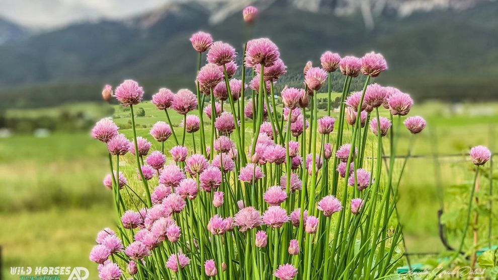 Allium Milleniumin and the Bumblebee