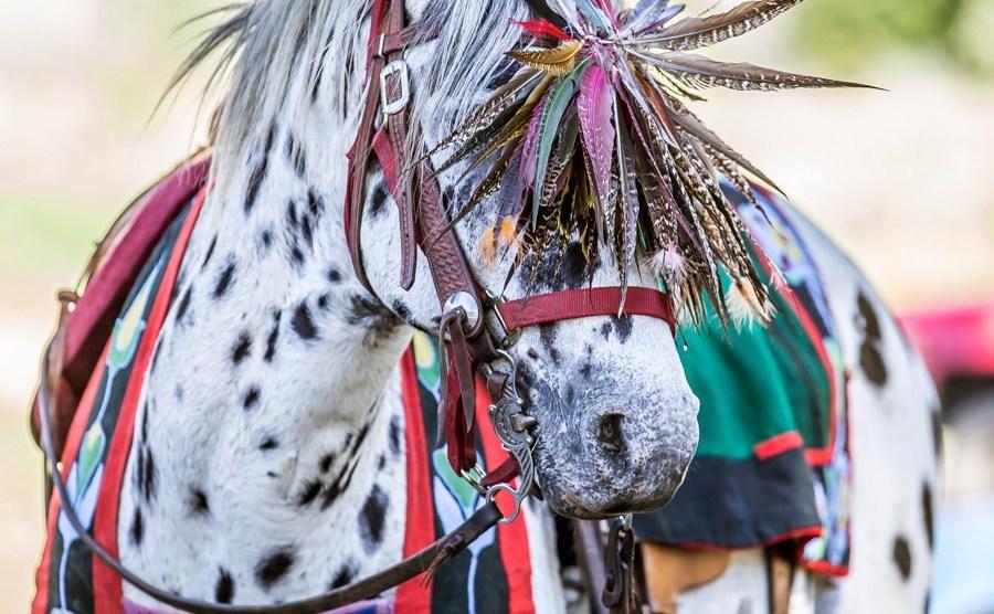 The Nez Perce Horse