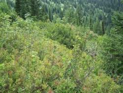 Huckleberry forecast in Montana