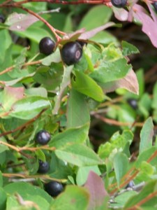 Huckleberry Picking is On!