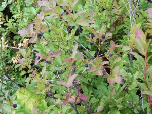 Preliminary Success in Taming the Wild Huckleberry