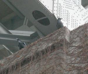 ravens under bridge