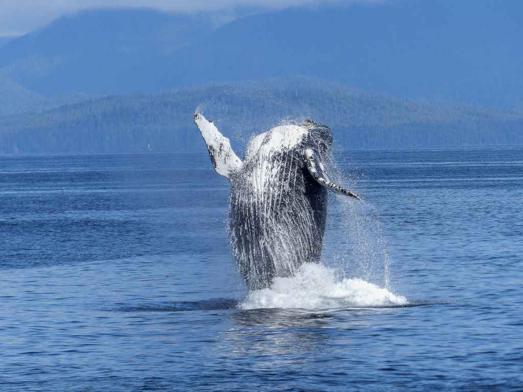humpback-whale-natural-spectacle-nature-mammal-51964.jpeg