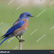 stock-photo-western-bluebird-at-covington-park-big-morongo-canyon-preserve-morongo-valley-ca-usa-58889120