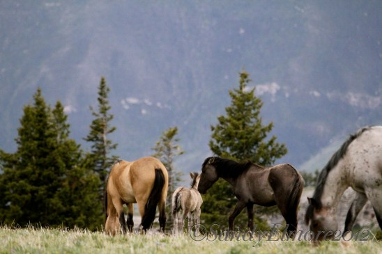 Joviana and foal with Juniper and Fiesta, June 17, 2012