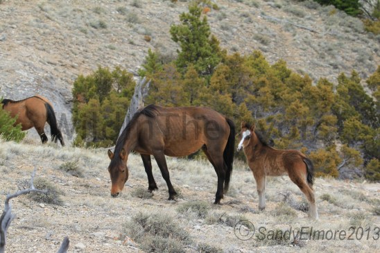 Topper, Waif and her new colt, April 28, 2013