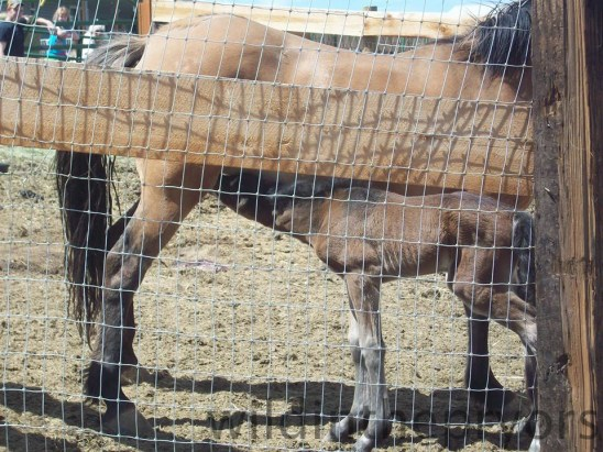Kachina a her colt, May 15, 2013  Photo by Trisha H.