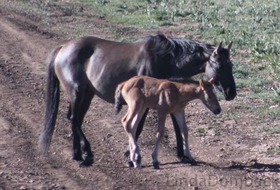 Graciana and foal.  Photo by Linda Dombeck.