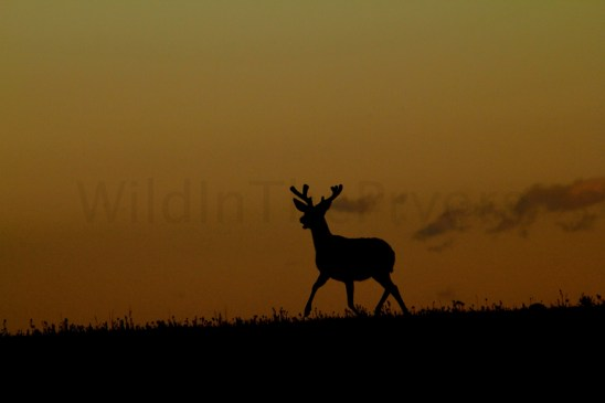Mule Deer Buck at sunrise.