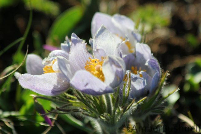 Pasque flowers starting to pop!