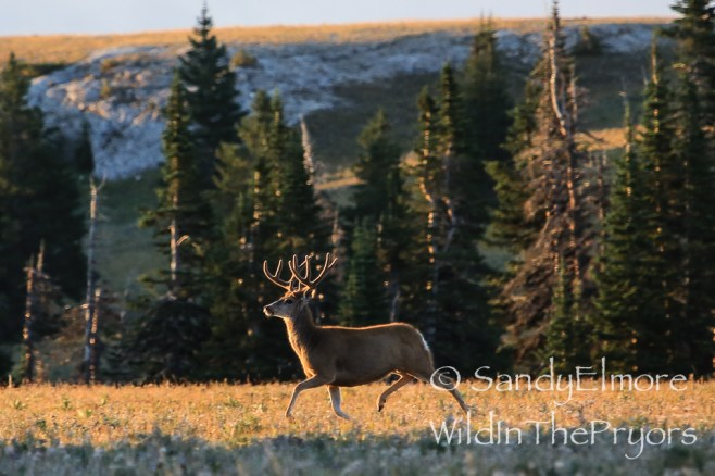 Mule Deer Buck at sunrise, August 2014. Taken right by camp.