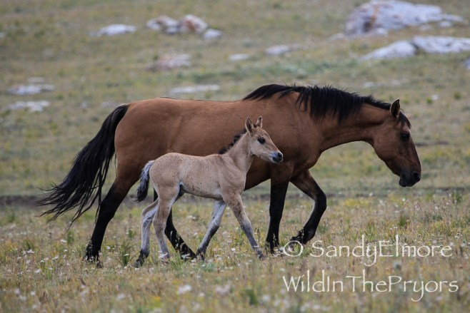 Washakie and her new filly.  August 10, 2014