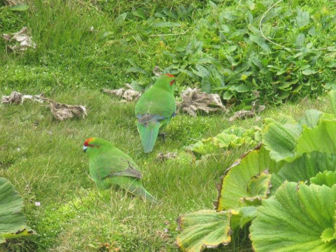 Red Crowned Parakeets
