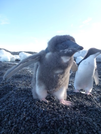 Fluffy Edelie Penguins