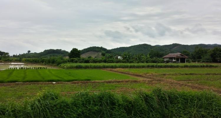 Northern Thailand Rice Fields