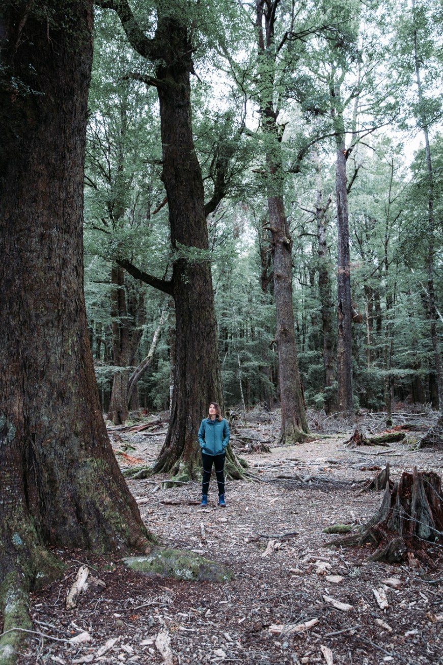 Grand forests in Glenorchy, South Island, New Zealand. Lothlorien Forest.