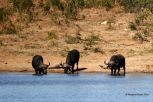 Buffalo drinking by the hippos and elephants. Crocodiles on the far banks and so much birdlife. Love this waterhole!