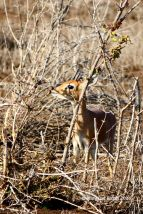 Stunning steenbok. These creatures are so petite and usually alone on the big arid areas - you could drive by and miss them!